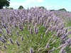 Lavender flowers ready for harvest