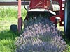 Lavender flowers going into the harvester