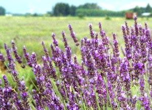Lavender Bush / Plant